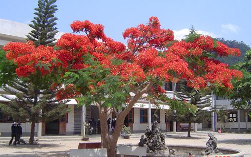 Tả về cây phượng ở trường em