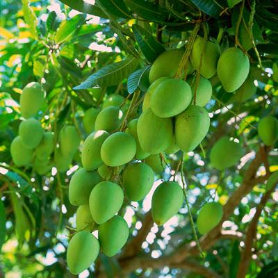 Tả về cây xoài trong vườn nhà em